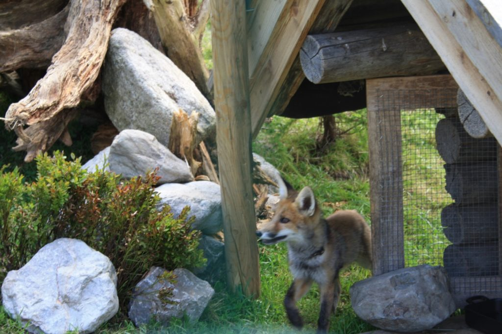 Fuchs frisst Kaninchen