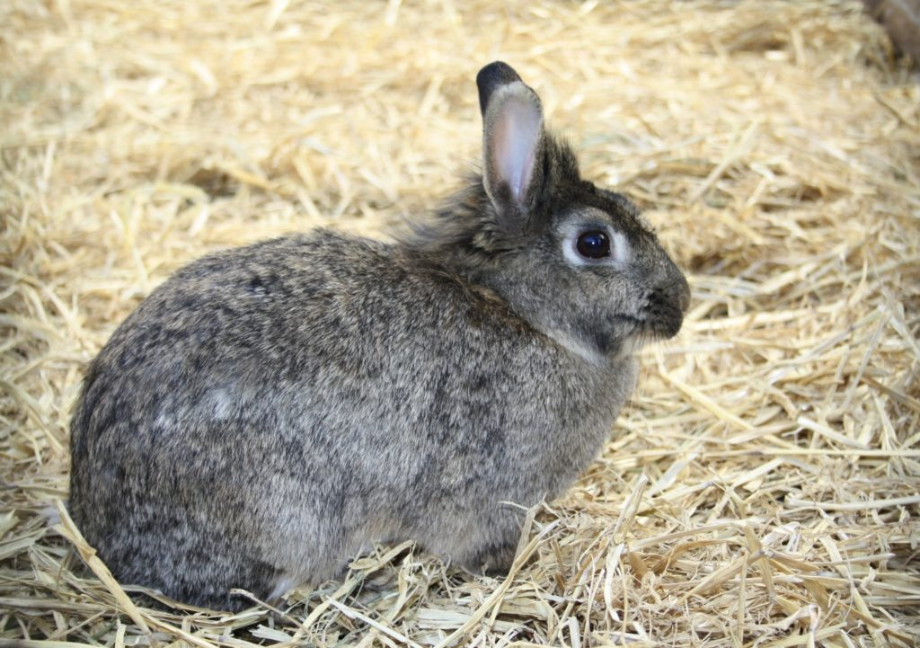 Ranghöchstes Kaninchen