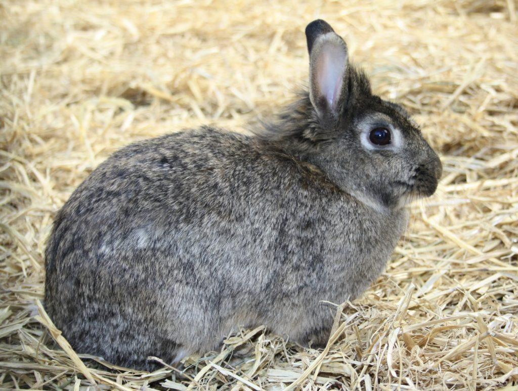 Kaninchen mit kurzem Fell