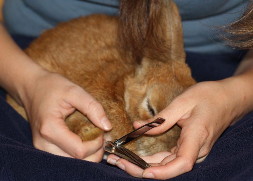 Pflege des Kaninchens - Krallen schneiden