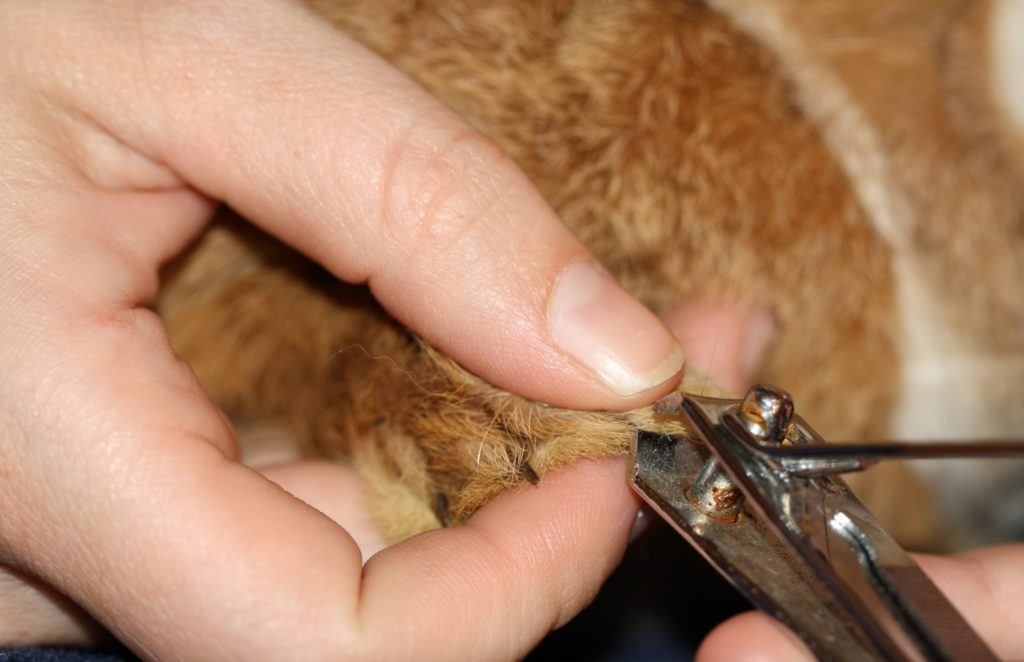 Krallen schneiden beim Kaninchen