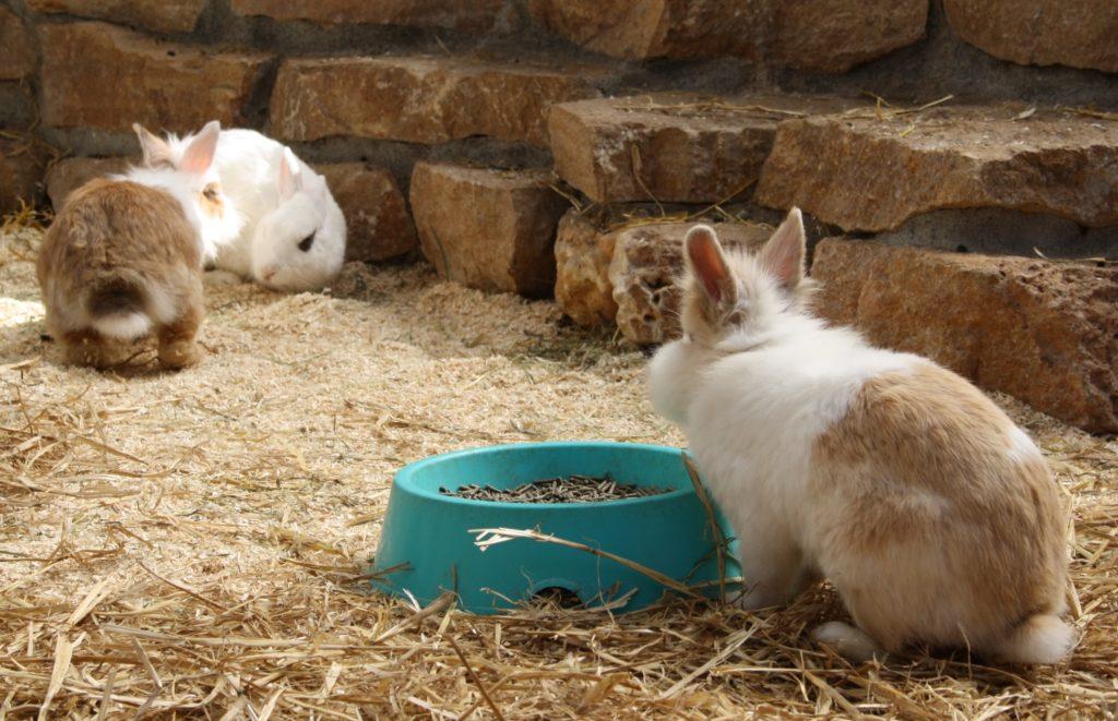 Streit zwischen Kaninchen