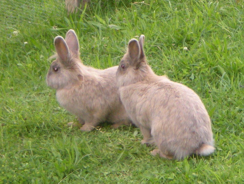 Zwei Kaninchen im Rasen