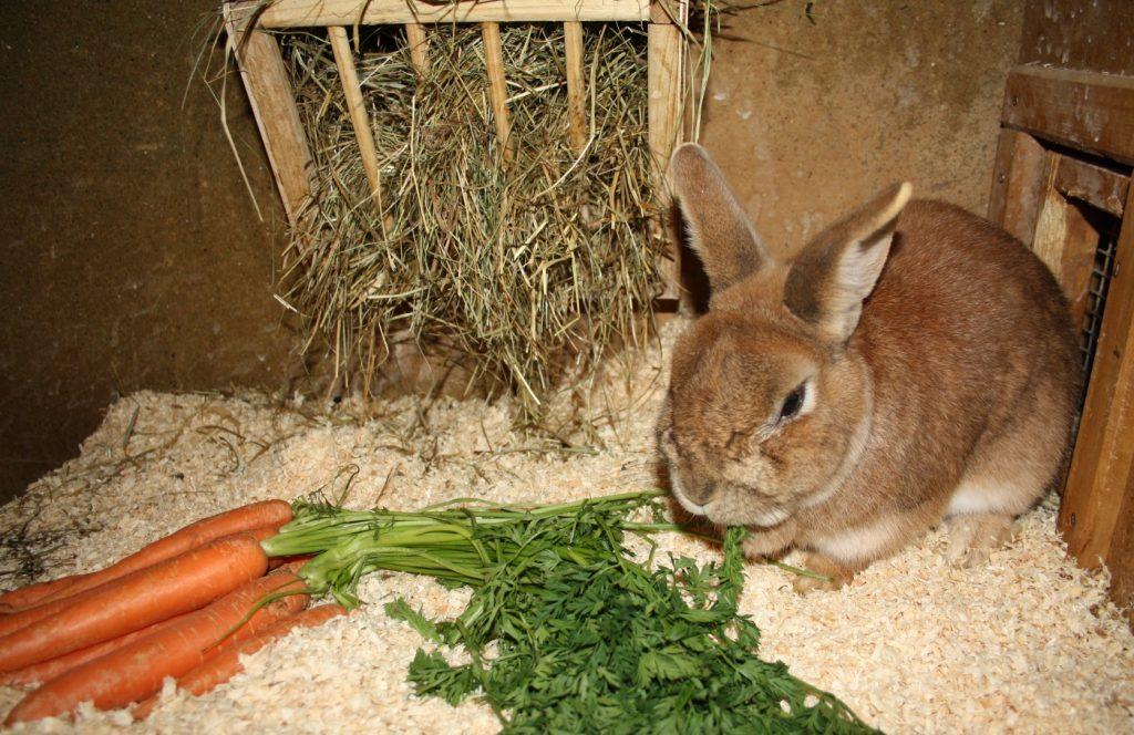 Karottengrün als rohfaserreiches Kaninchenfutter