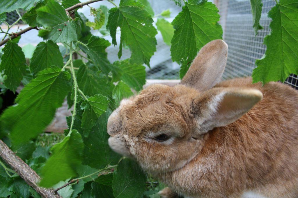 Kaninchen Ernährung durch Blätter, Gräser und Kräuter