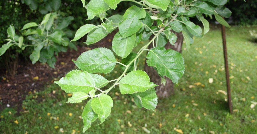 Apfelbaumblätter