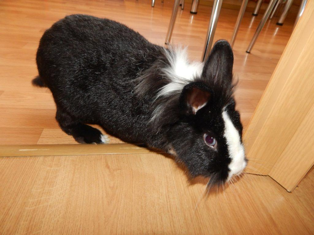 Kaninchen läuft frei in der Wohnung