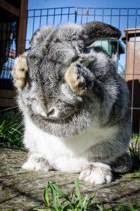 Augen tränen beim Kaninchen