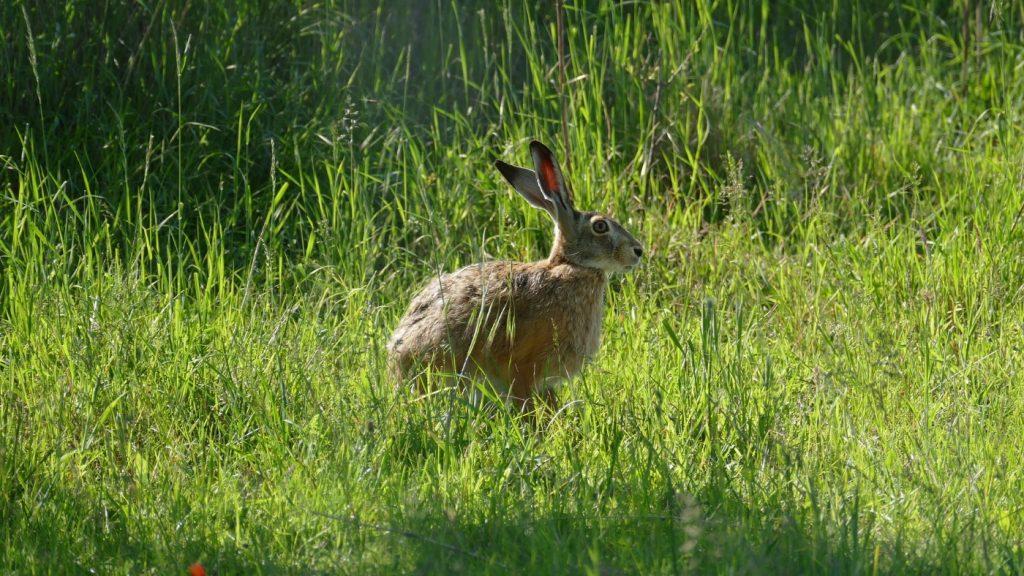 Feldhase oder Kaninchen