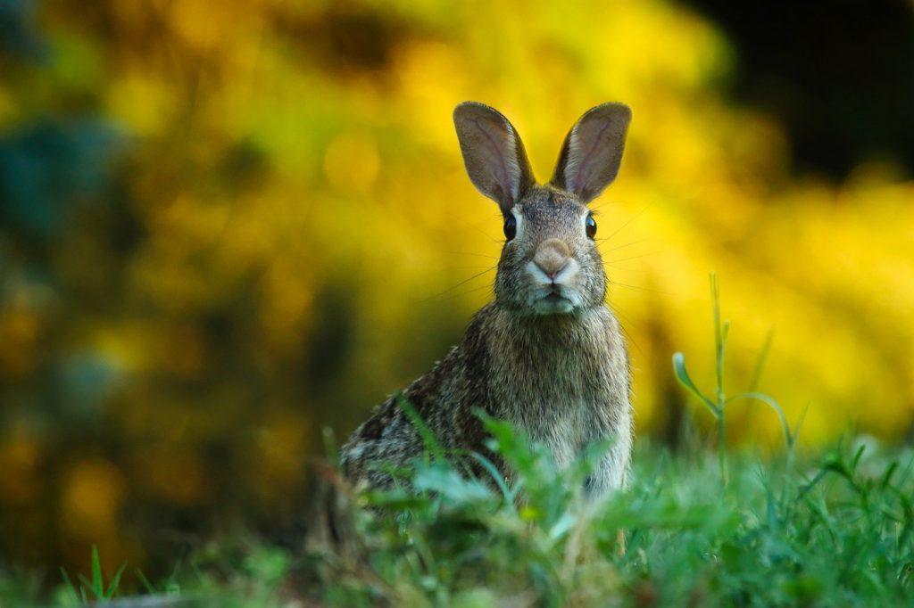 Wie alt werden Kaninchen in der Natur?