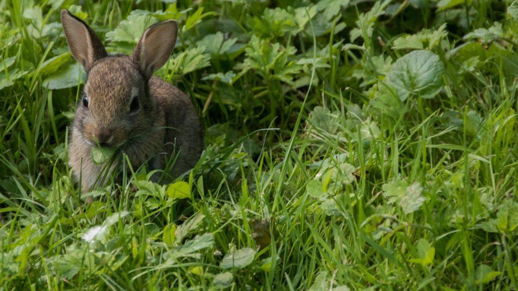 Kaninchen frisst frisches Gras