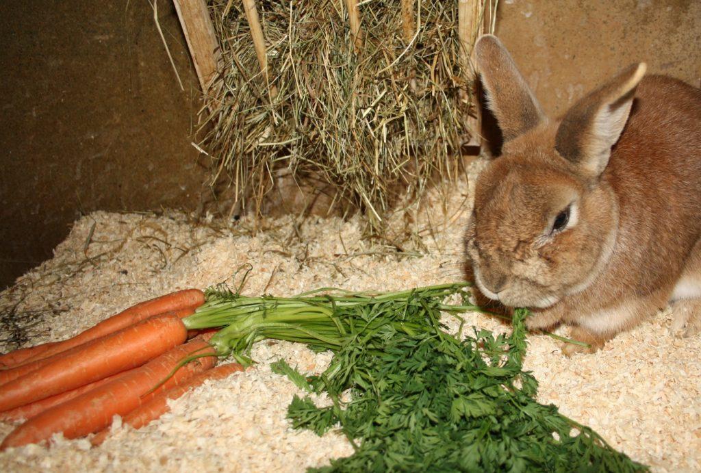 Kaninchen frisst Karotten