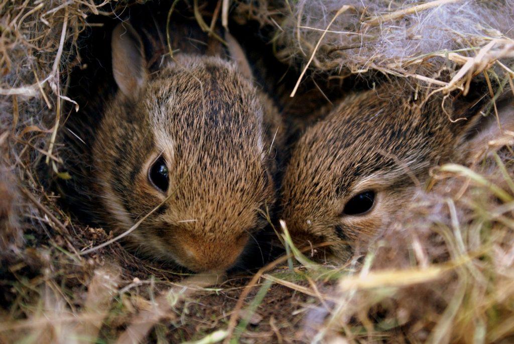 Kaninchen zusammen im Nest