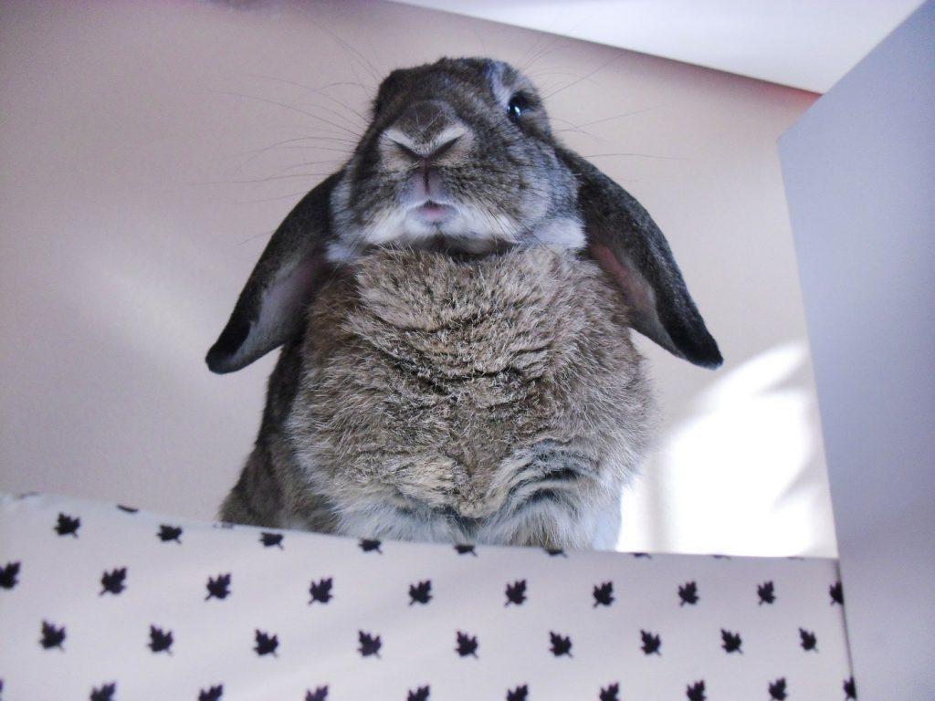 Kaninchen klettert auf Möbel