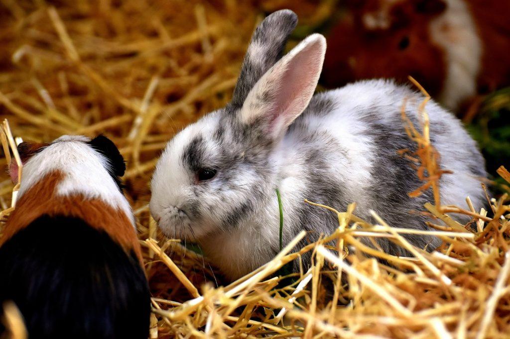 Kaninchen und Meerschweinchen zusammen halten