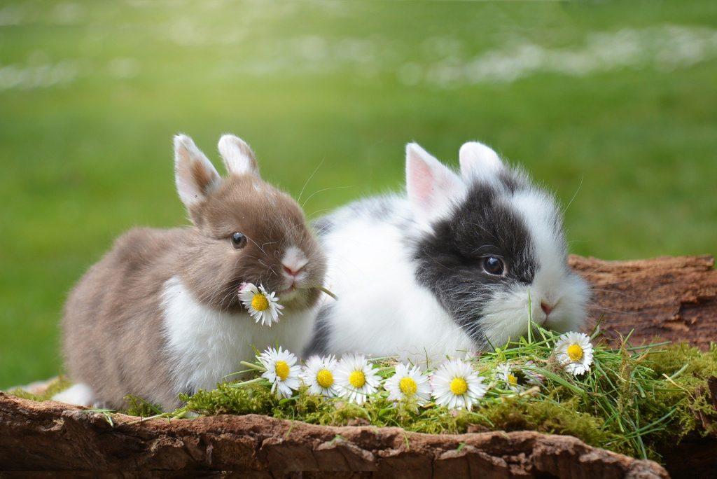 Männchen und Weibchen bei Kaninchen