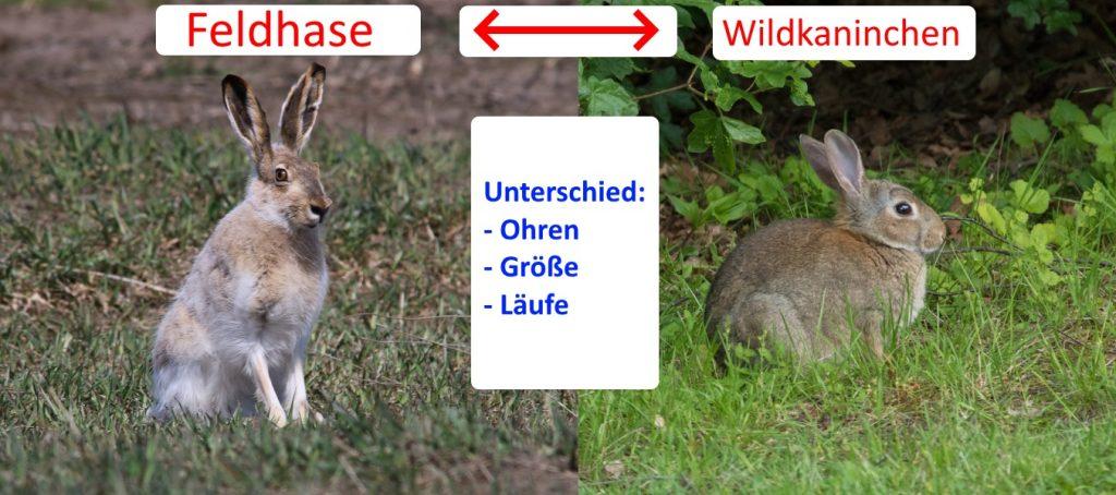 Unterschied Feldhase und Wildkaninchen