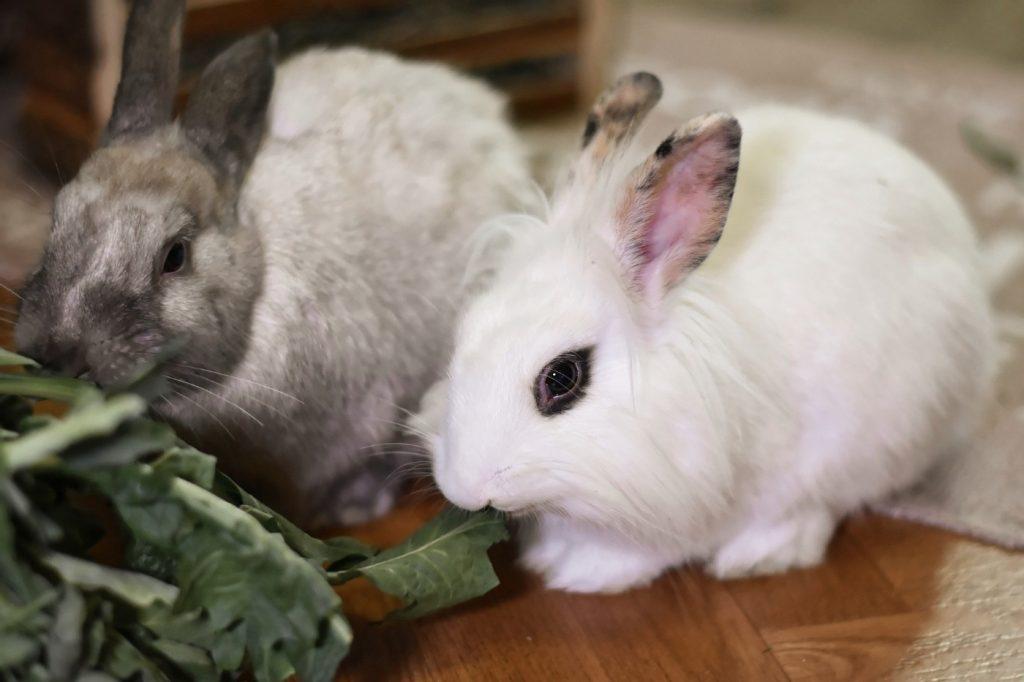 Mindestens zwei Kaninchen in der Wohnung halten
