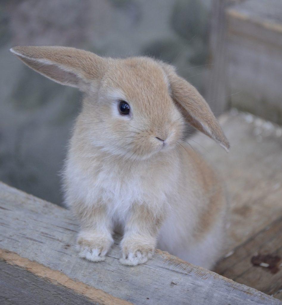 Zwergwidder Kaninchen für die Wohnung