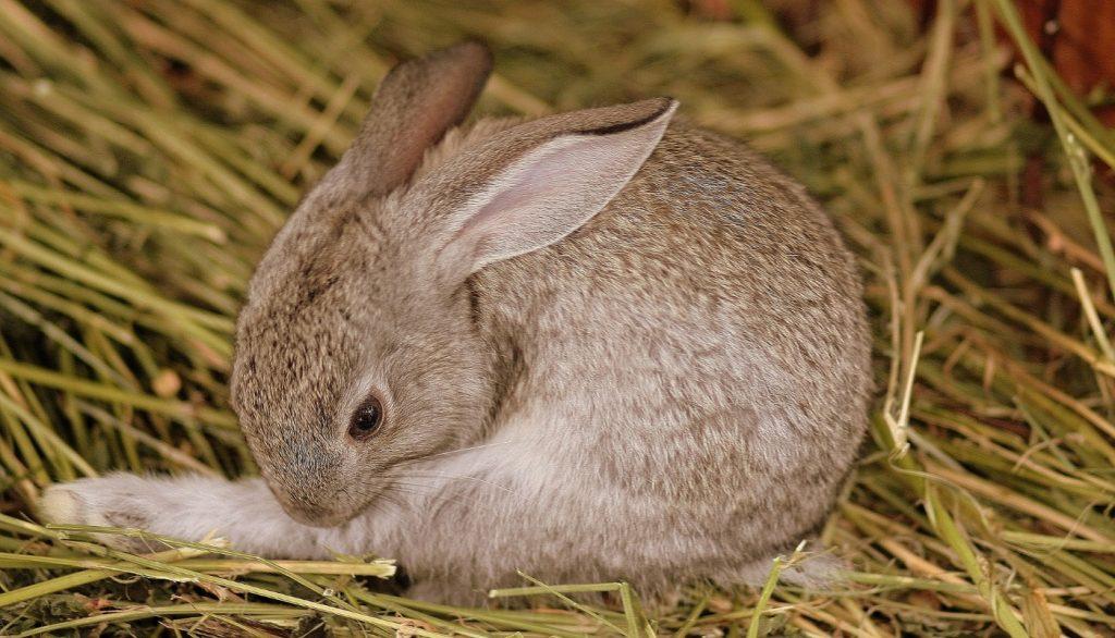 Kaninchen mit Abszess: Erkennen und Behandeln