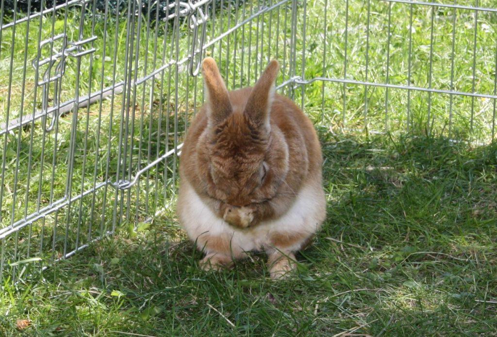 Kaninchen hat Schnupfen