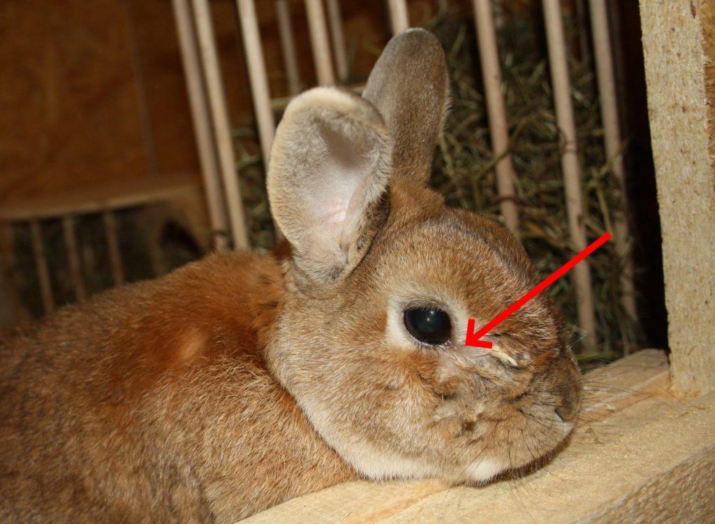 Bindehautentzündung beim Kaninchen
