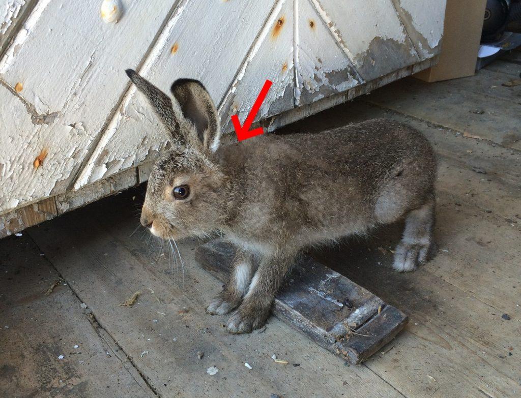Fliegenmaden beim Kaninchen