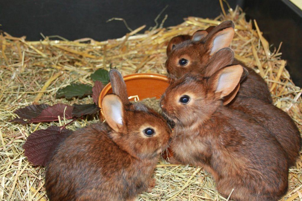 Geschlechterbestimmung beim Kaninchenwurf