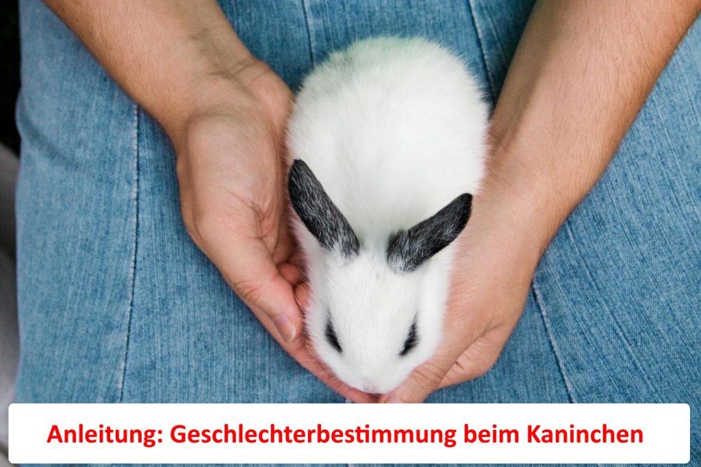 Anleitung: Kaninchen Geschlecht erkennen