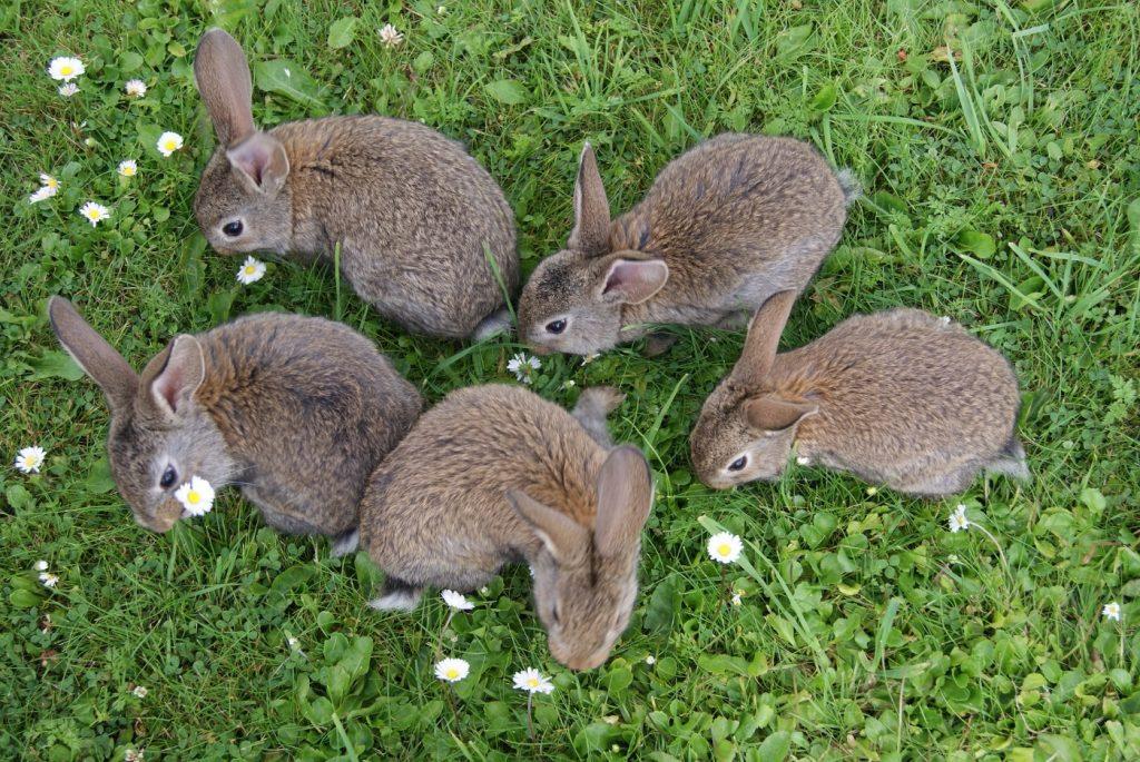 Kaninchen in Geschlechtsreife