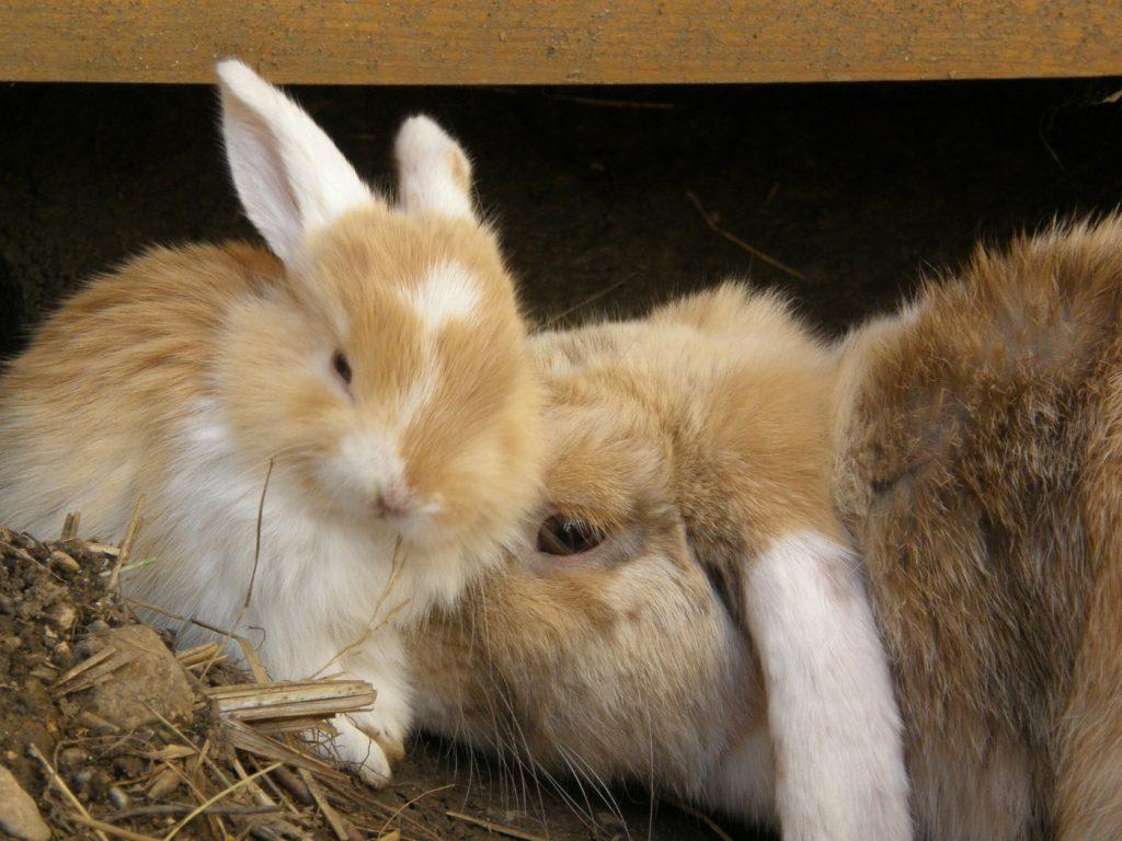 Kaninchenbabys beim Hauskaninchen